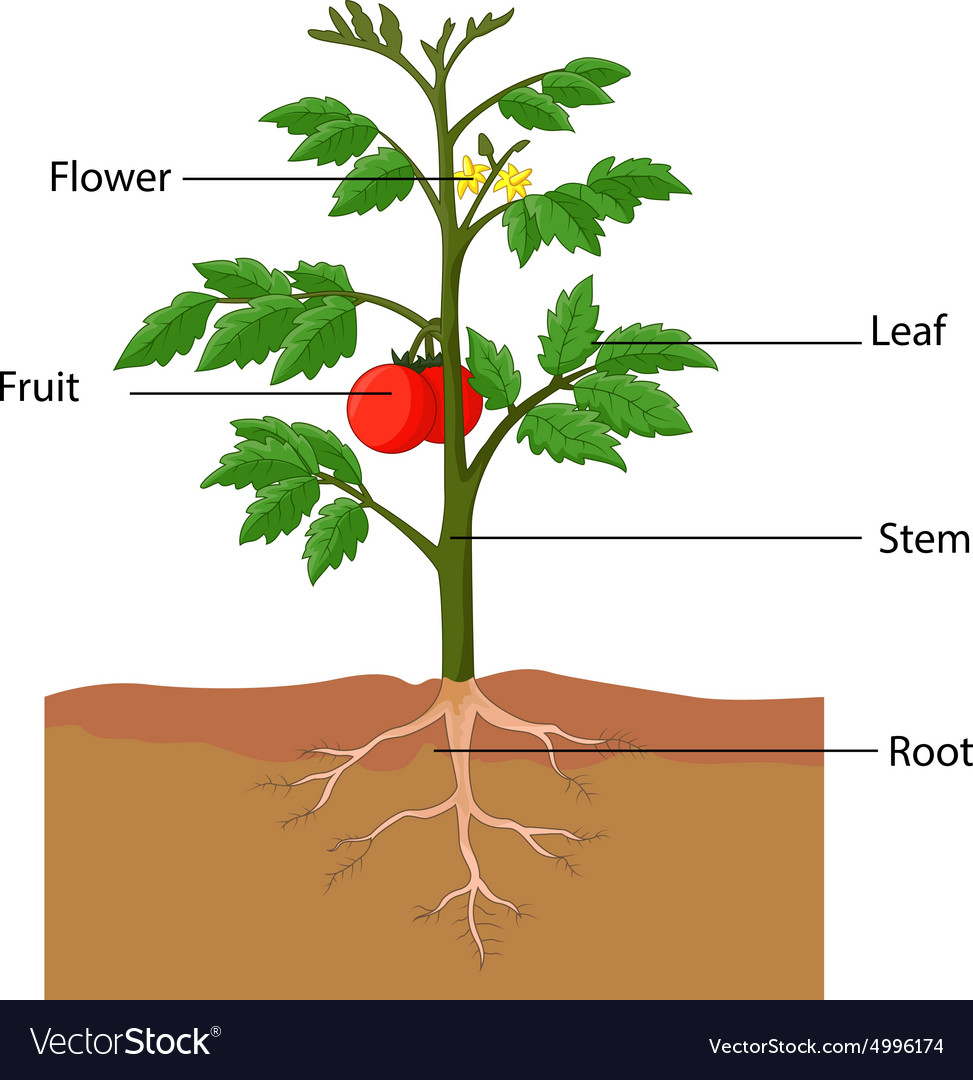 Showing the parts of a tomato plant royalty free vector showing the parts of a tomato plant vector image pooptronica Choice Image