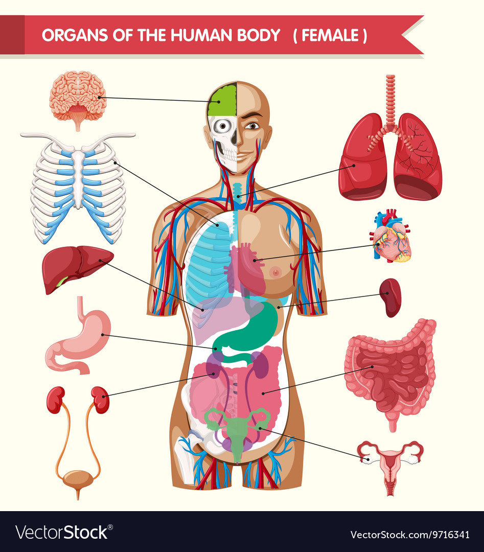Organs of the human body diagram royalty free vector image organs of the human body diagram vector image pooptronica