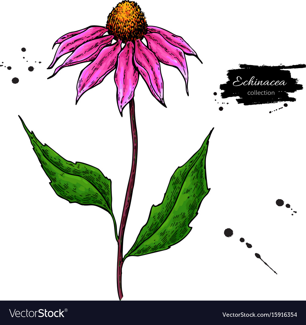 Echinacea drawing isolated purpurea flower vector image