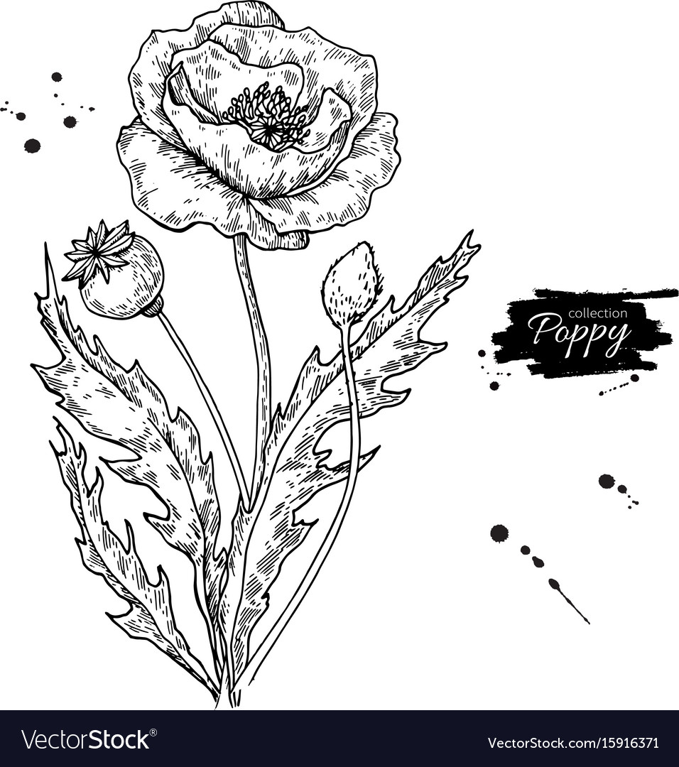 Poppy flower drawing set isolated wild vector image
