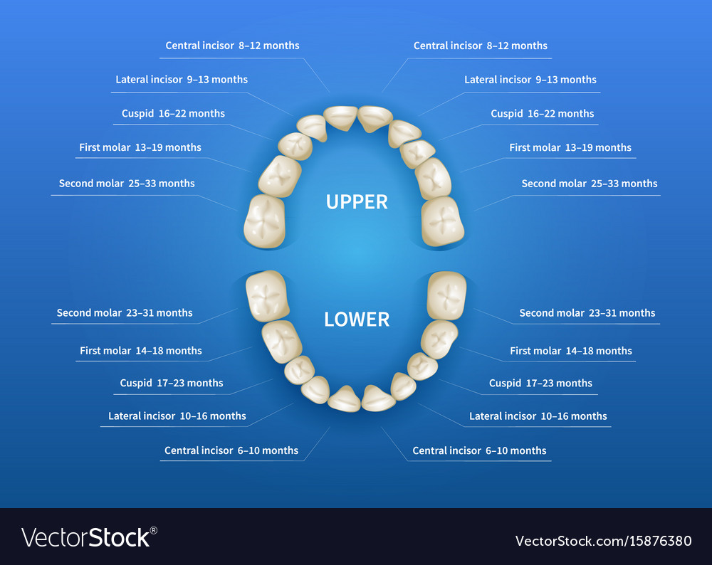 Children mouth with tooth numbering chart on blue vector image