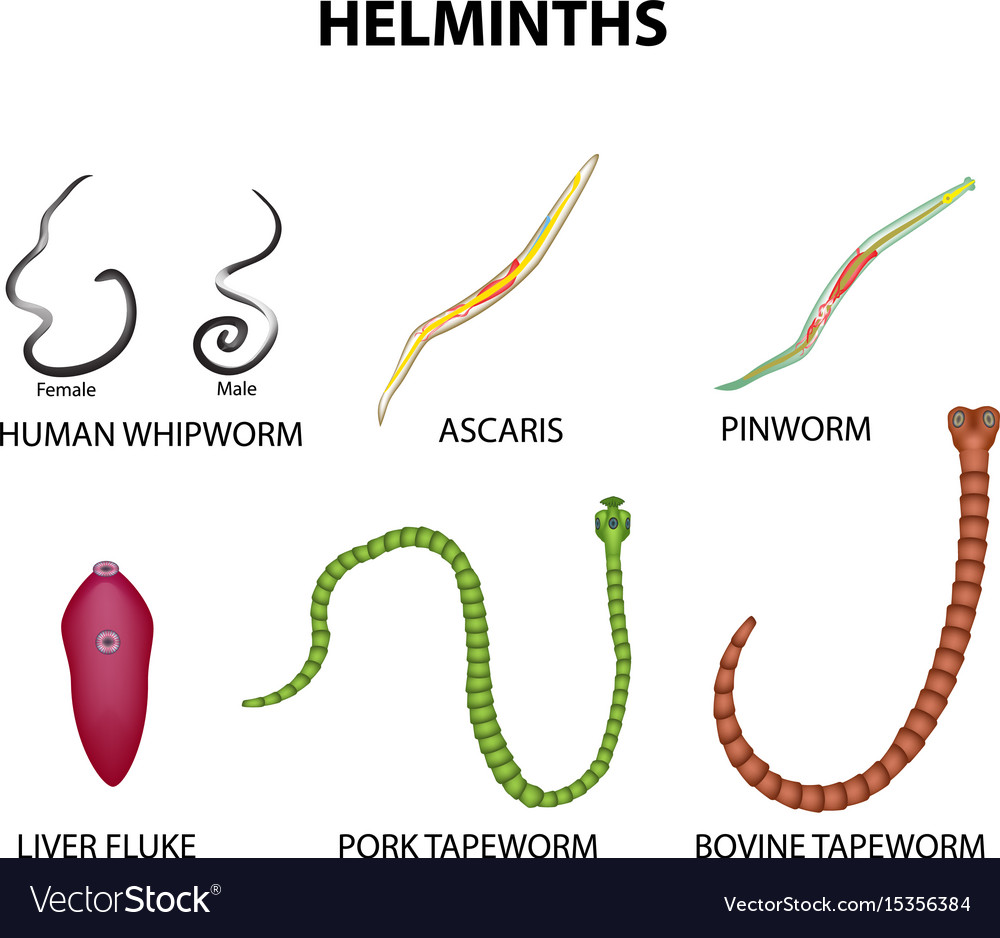 A Set Of Helminths Roundworm Ascaris Pinworms Vector Image