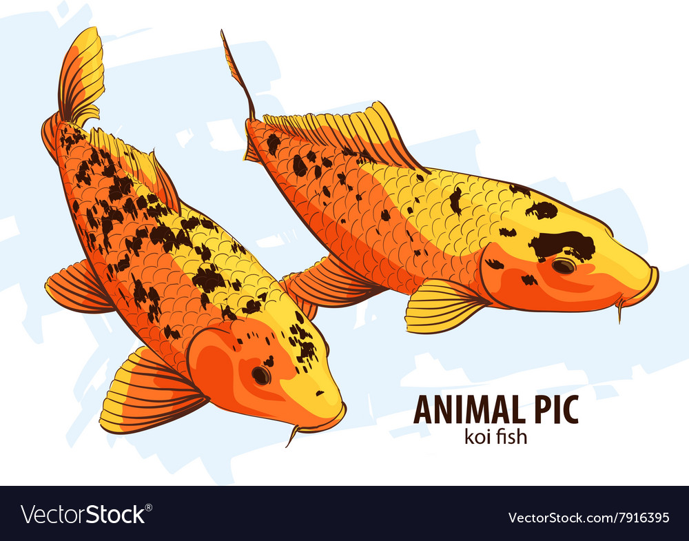 Orange Koi fishes vector image