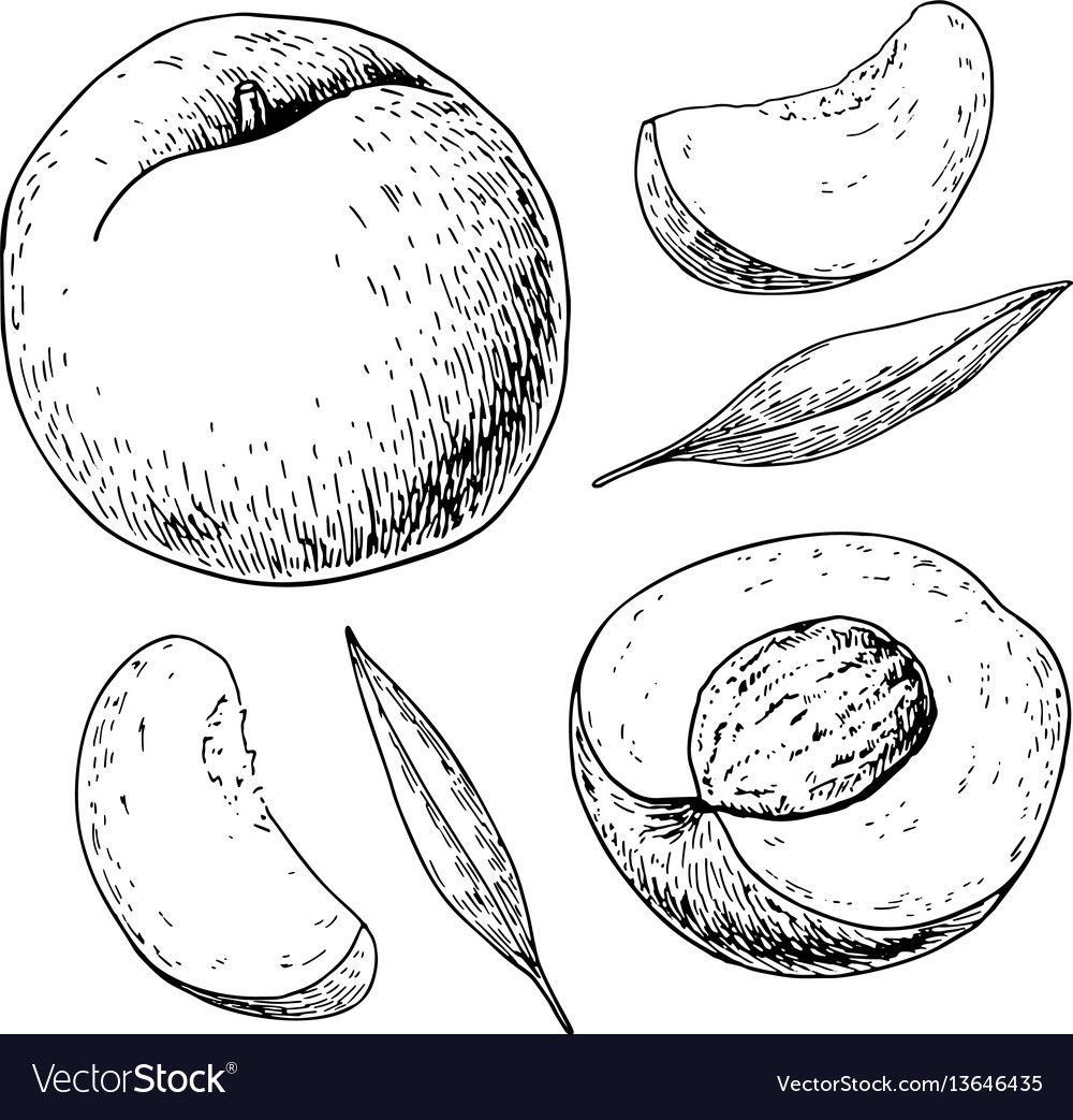 Peach drawing isolated hand drawn full and vector image