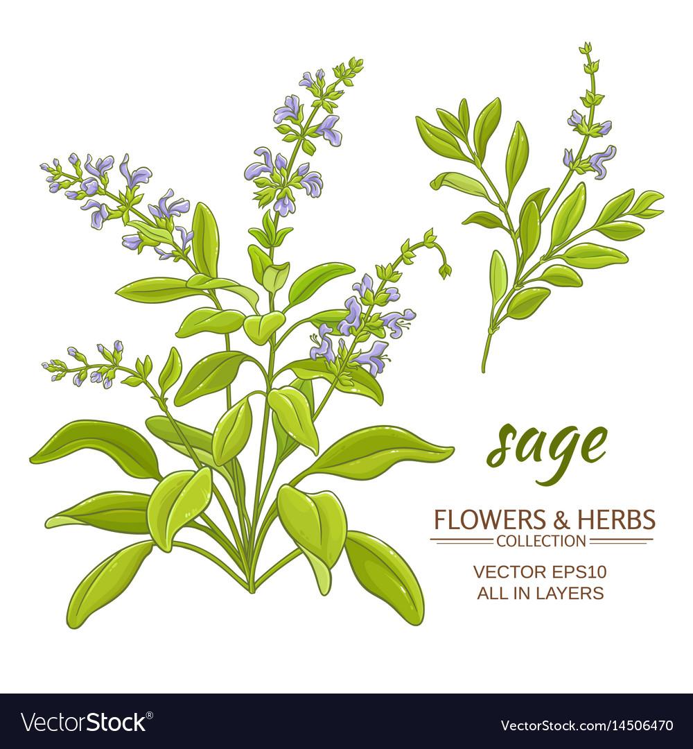 Sage vector image