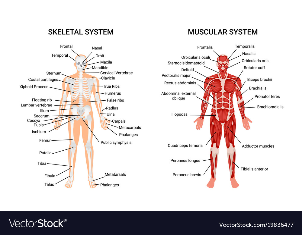 Amazing Skeletal And Muscular System Diagram Collection Anatomy