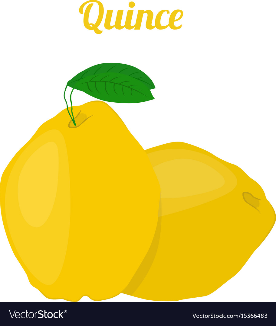 Quince healthy fruit vegetarian food vector image