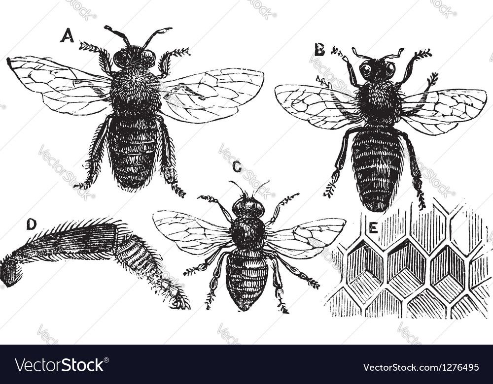 Bee vintage engraving vector image