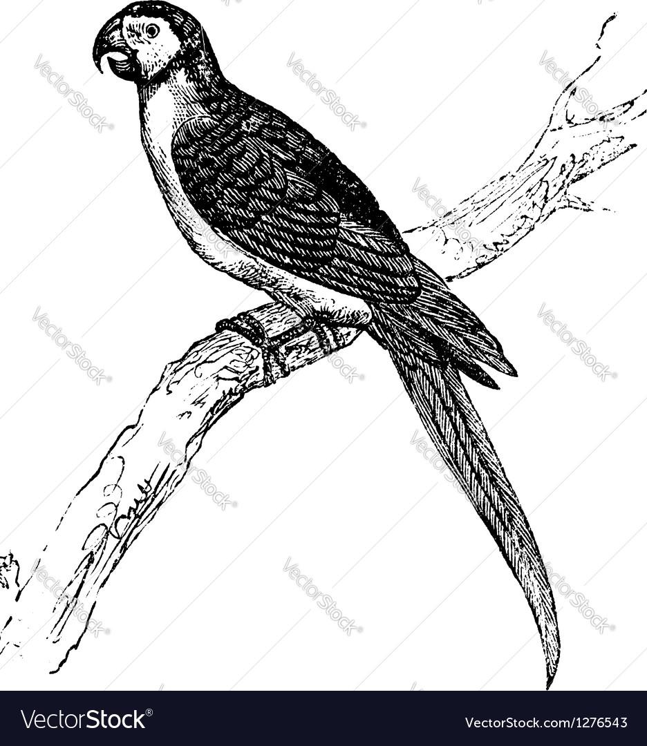Macaw vintage engraving vector image