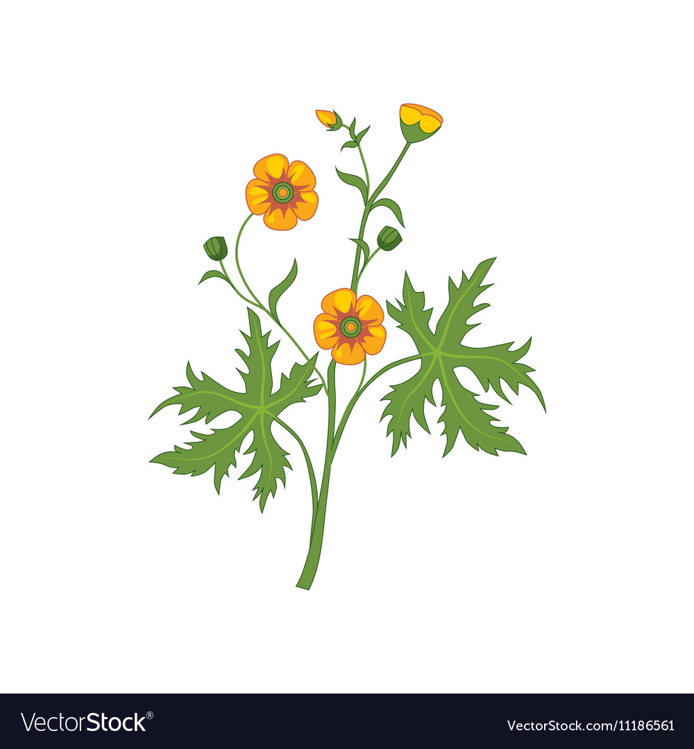 Buttercup Wild Flower Hand Drawn Detailed vector image