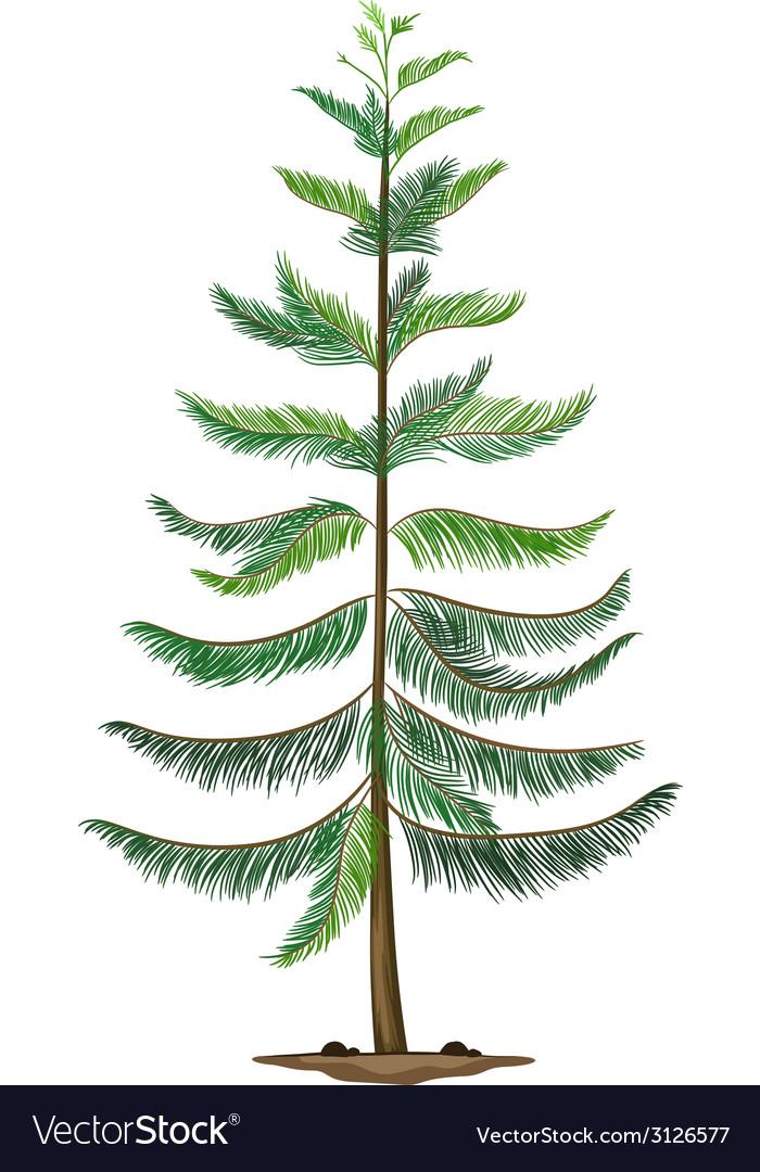 A Norfolk island pine vector image