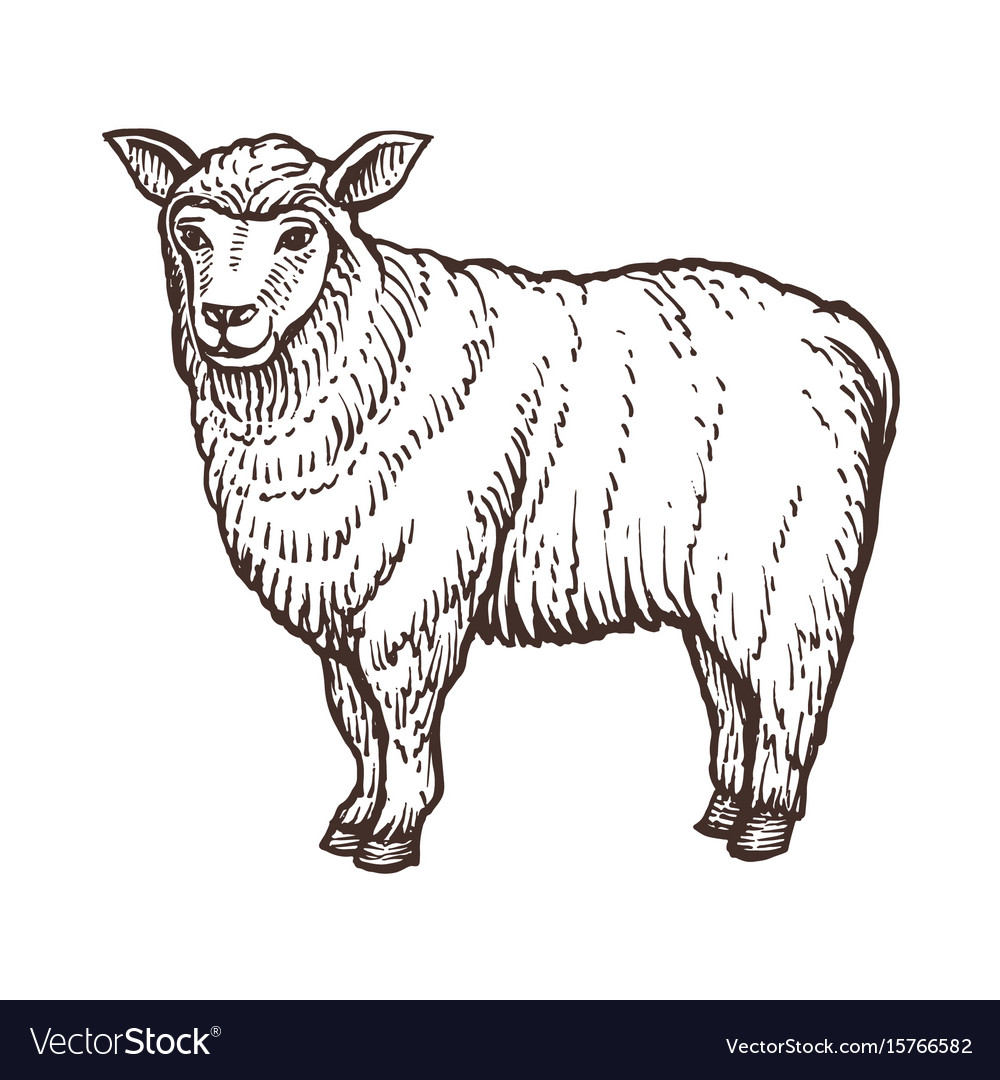 sheep farm animal sketch isolated sheep mammal on vector image