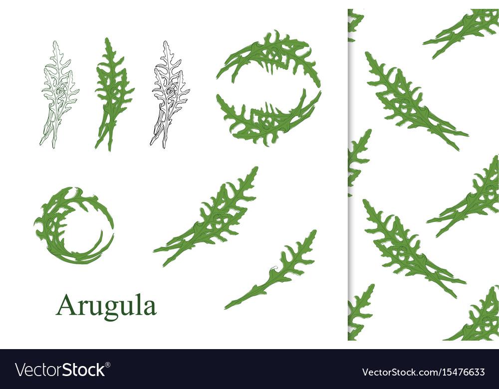 Hand drawn arugula vector image