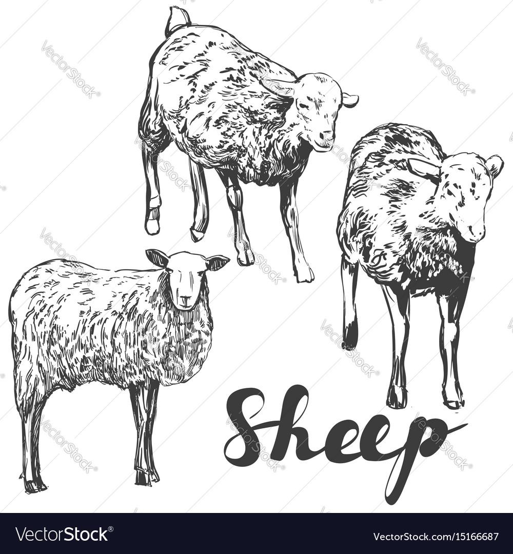 Sheep set hand drawn realistic vector image