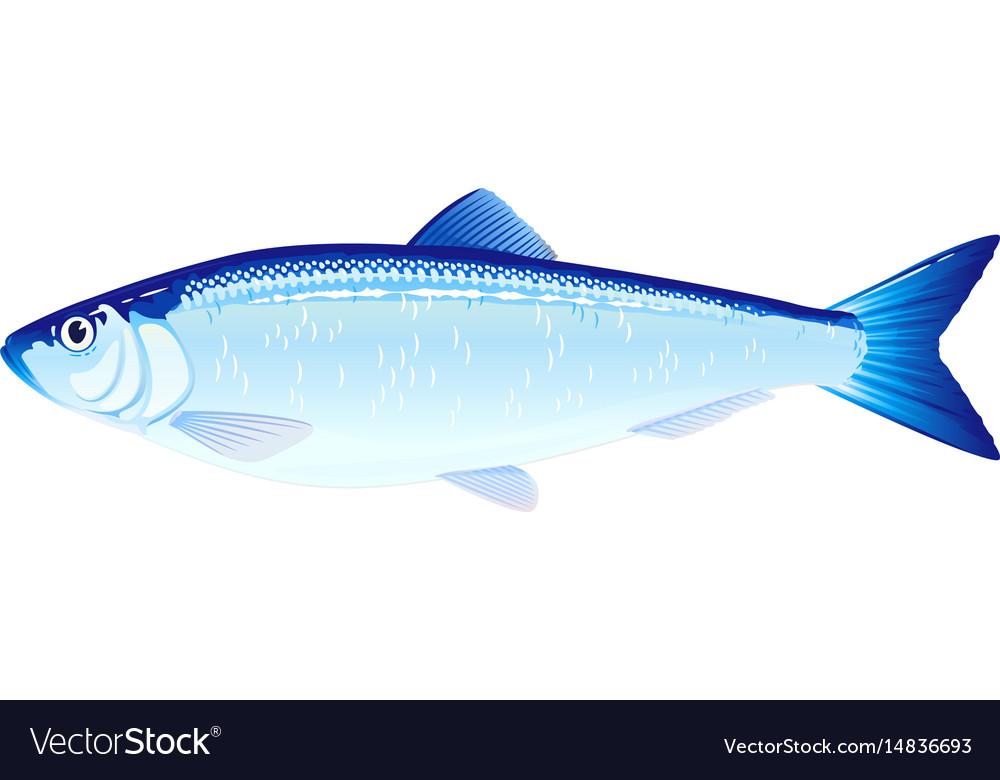 Atlantic herring fish vector image