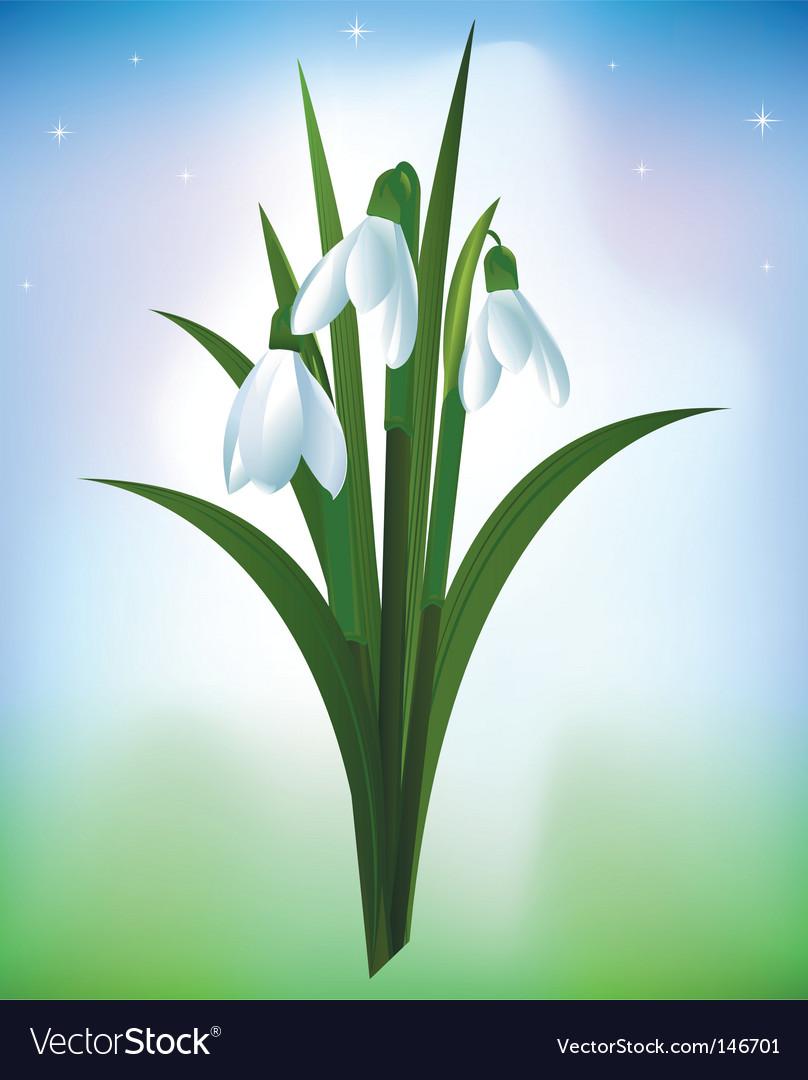 Snowdrops vector image