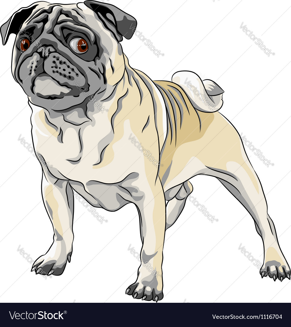 Sketch angry dog fawn pug breed stands in front vector image