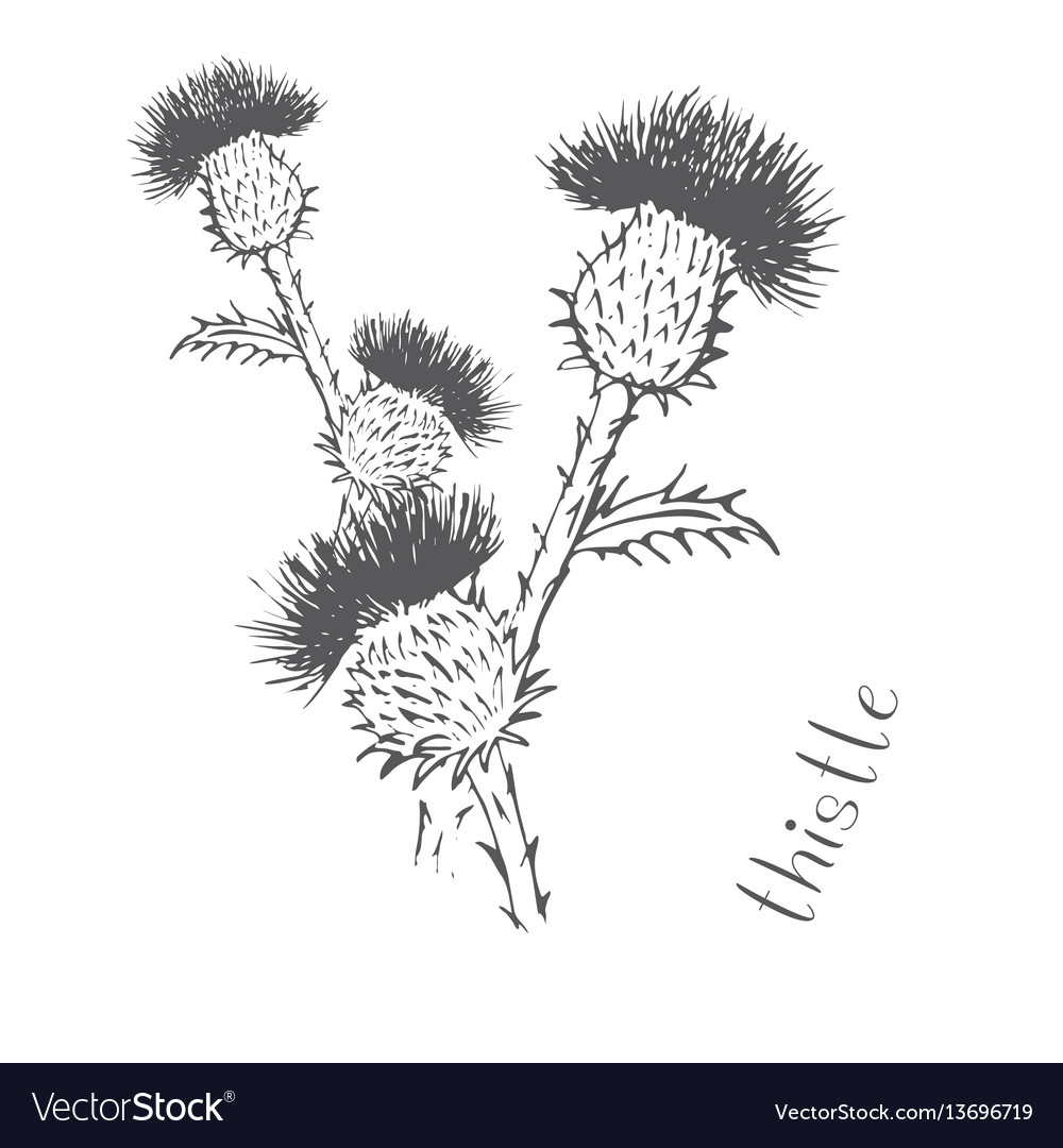 Thistle painted with hand vector image