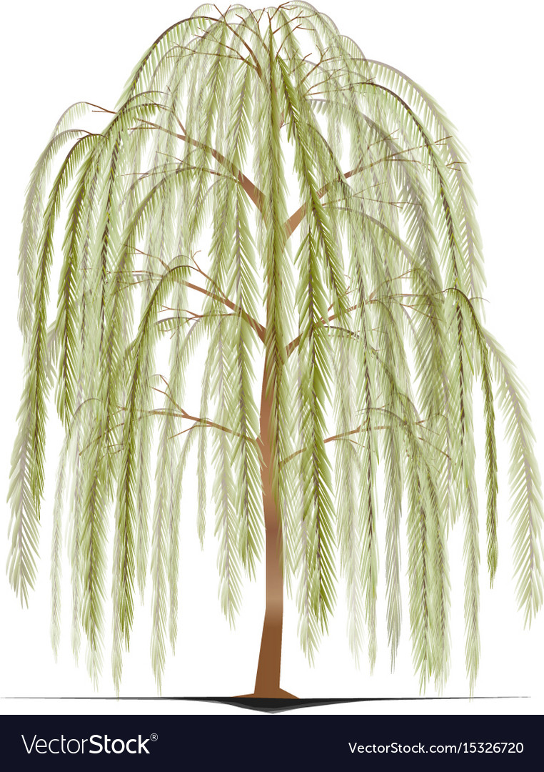 Uncategorized How To Draw A Weeping Willow weeping willow tree royalty free vector image vectorstock image