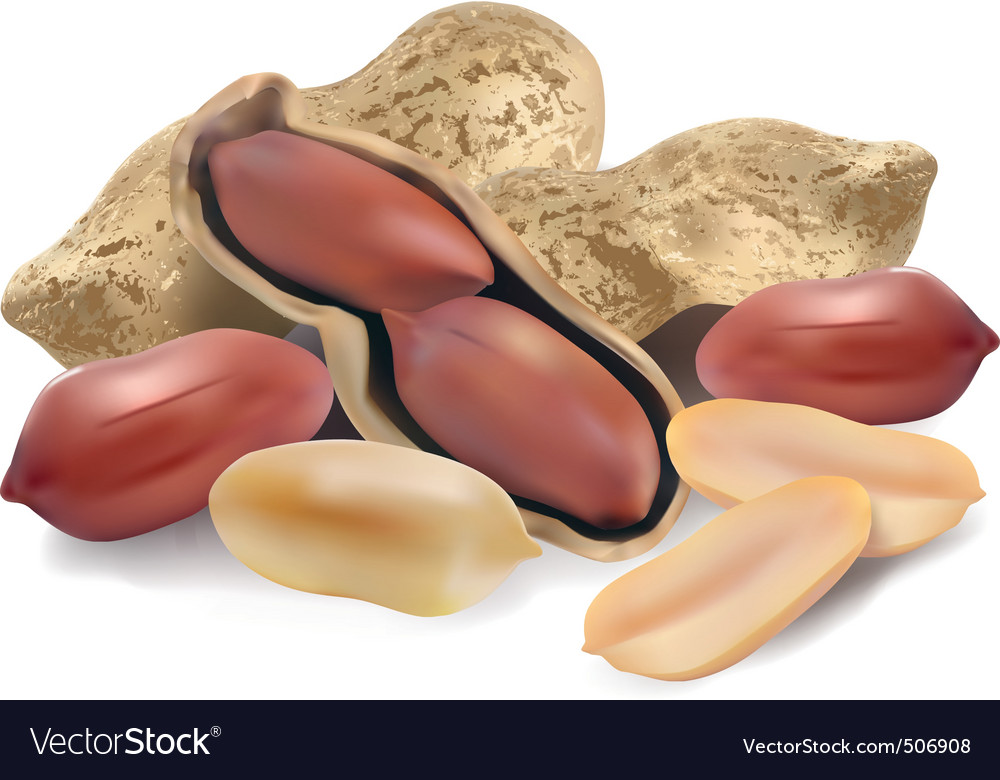 Peanut in a shell and cleared vector image