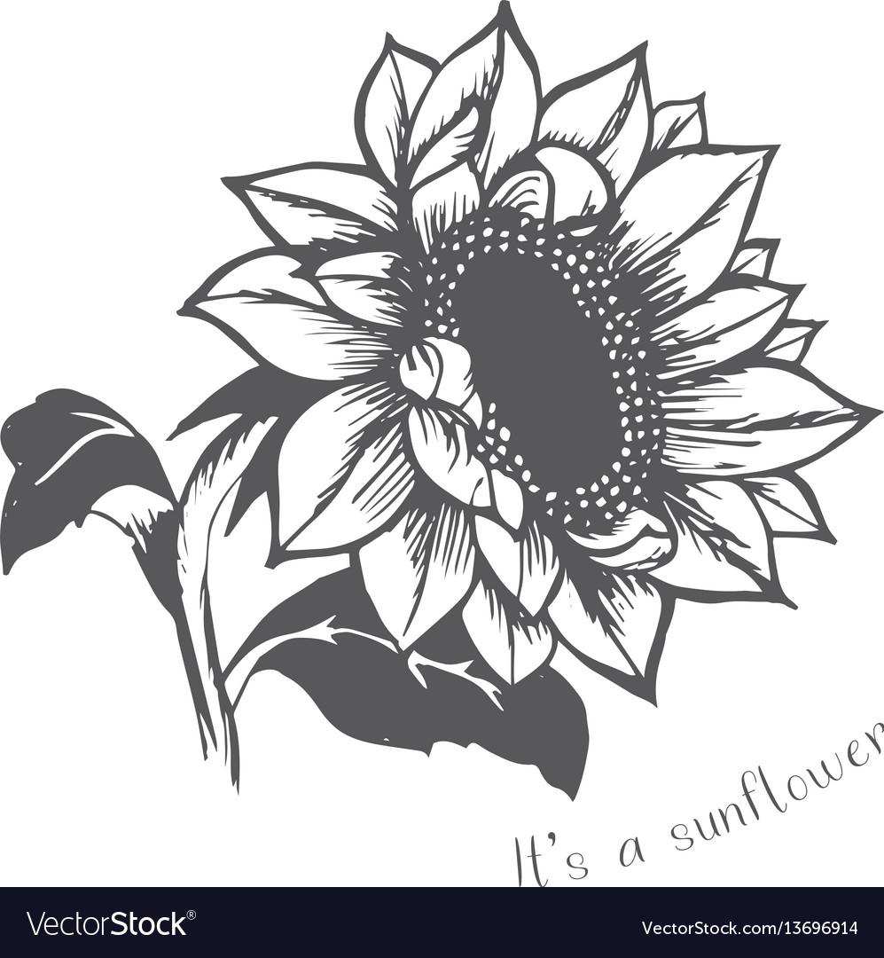 Ripe sunflower hand painted flower vector image