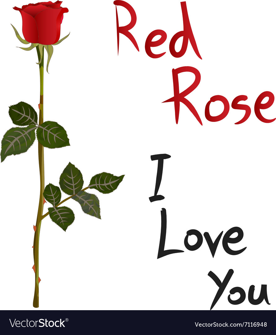 Red Rose Meaning vector image