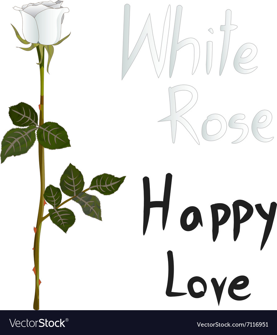 White Rose Meaning vector image