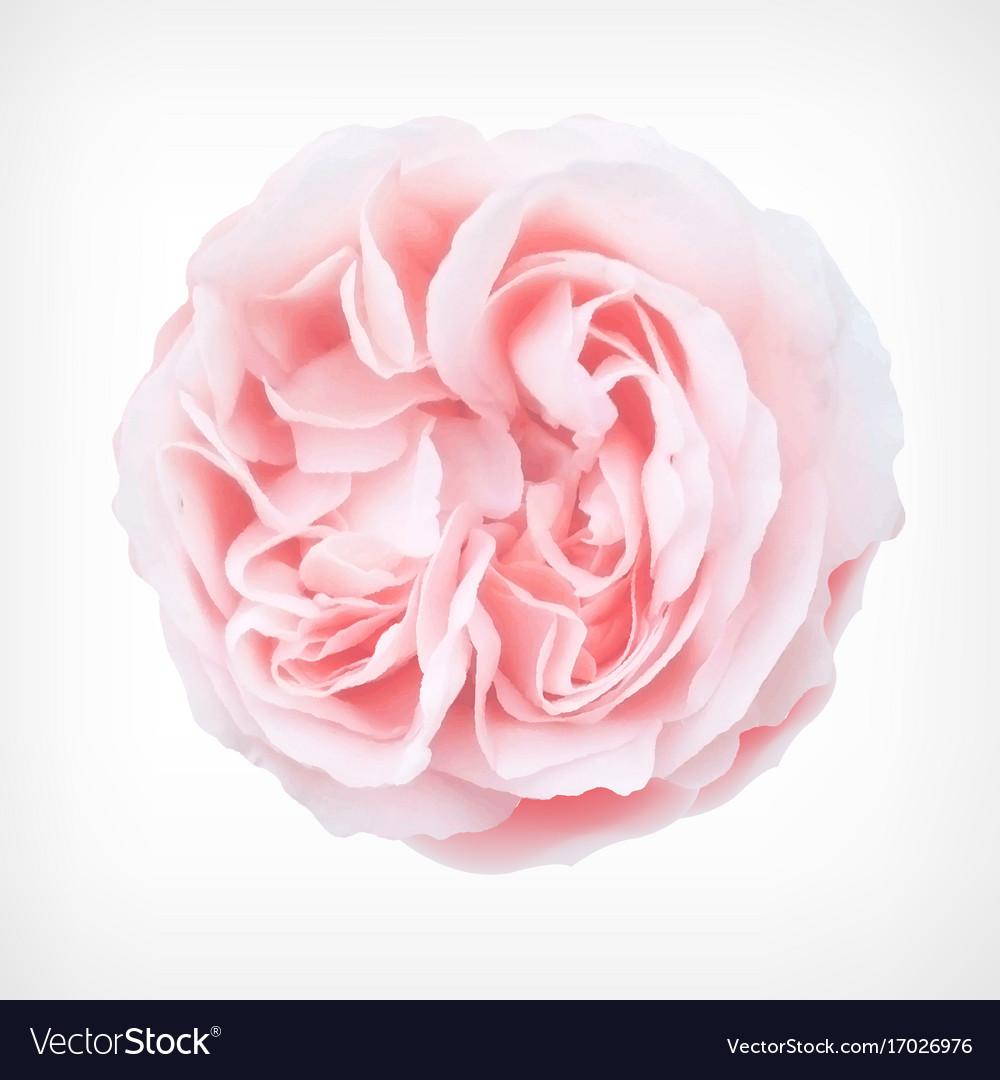 Pastel rose vector image