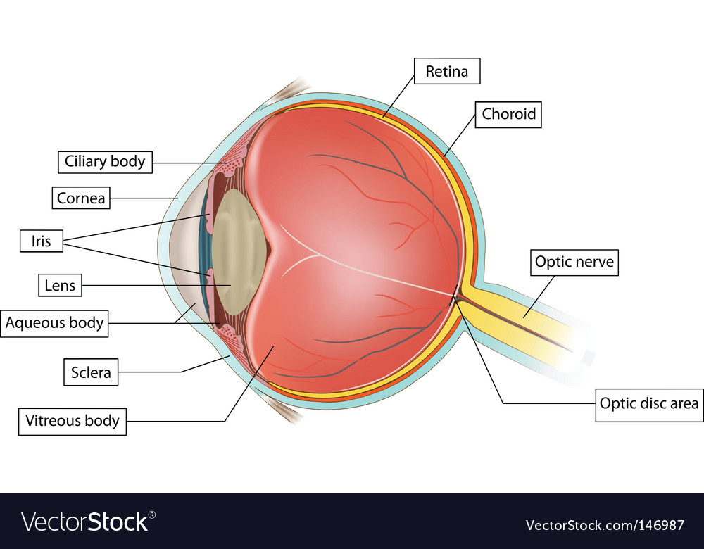 Eye anatomy Vector Image