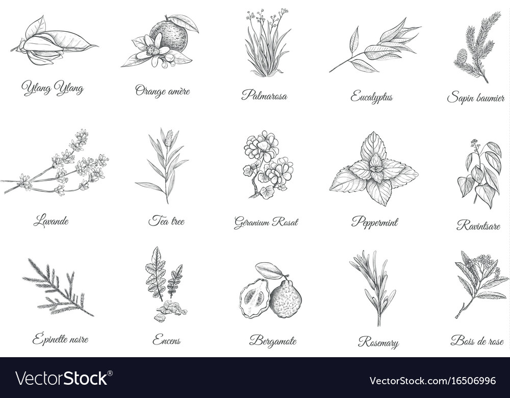 Herbs and spices set collection sketch plants vector image