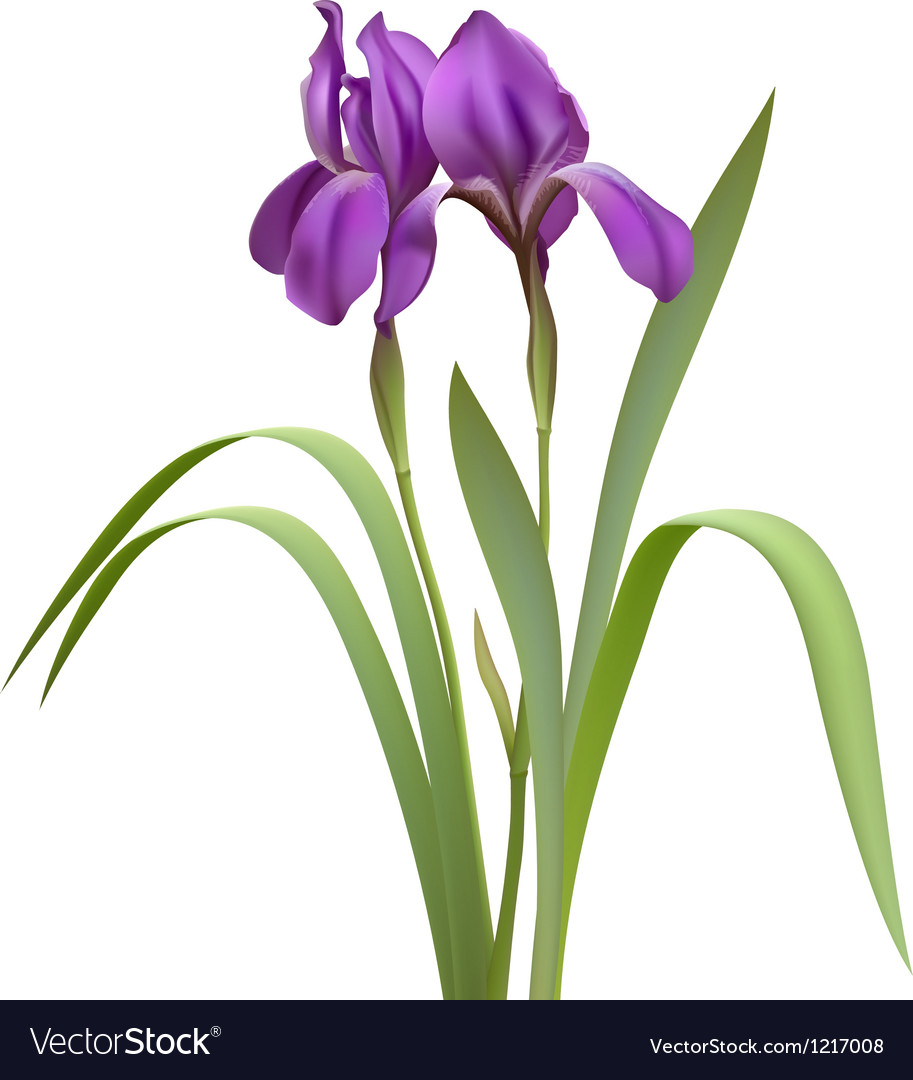 Purple Iris Flowers Vector Image