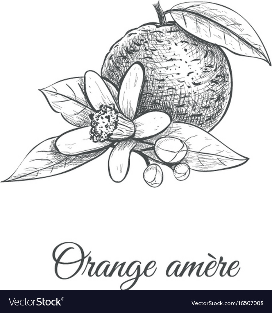 Orange amere bitter orange vector image