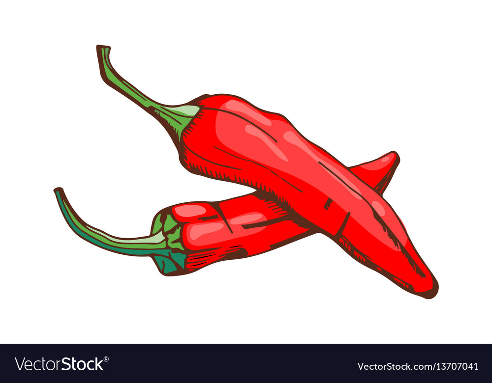Red chilli pepper food seasoning hand drawn style vector image