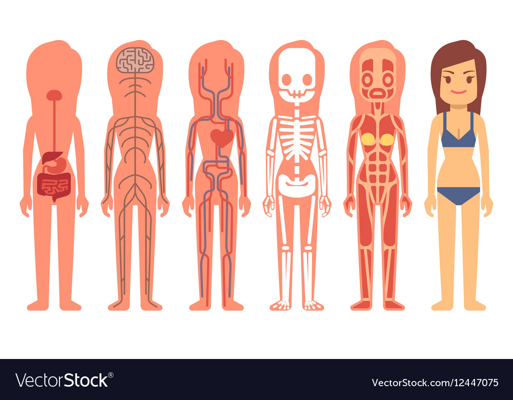 Medical Woman Body Anatomy Royalty Free Vector Image