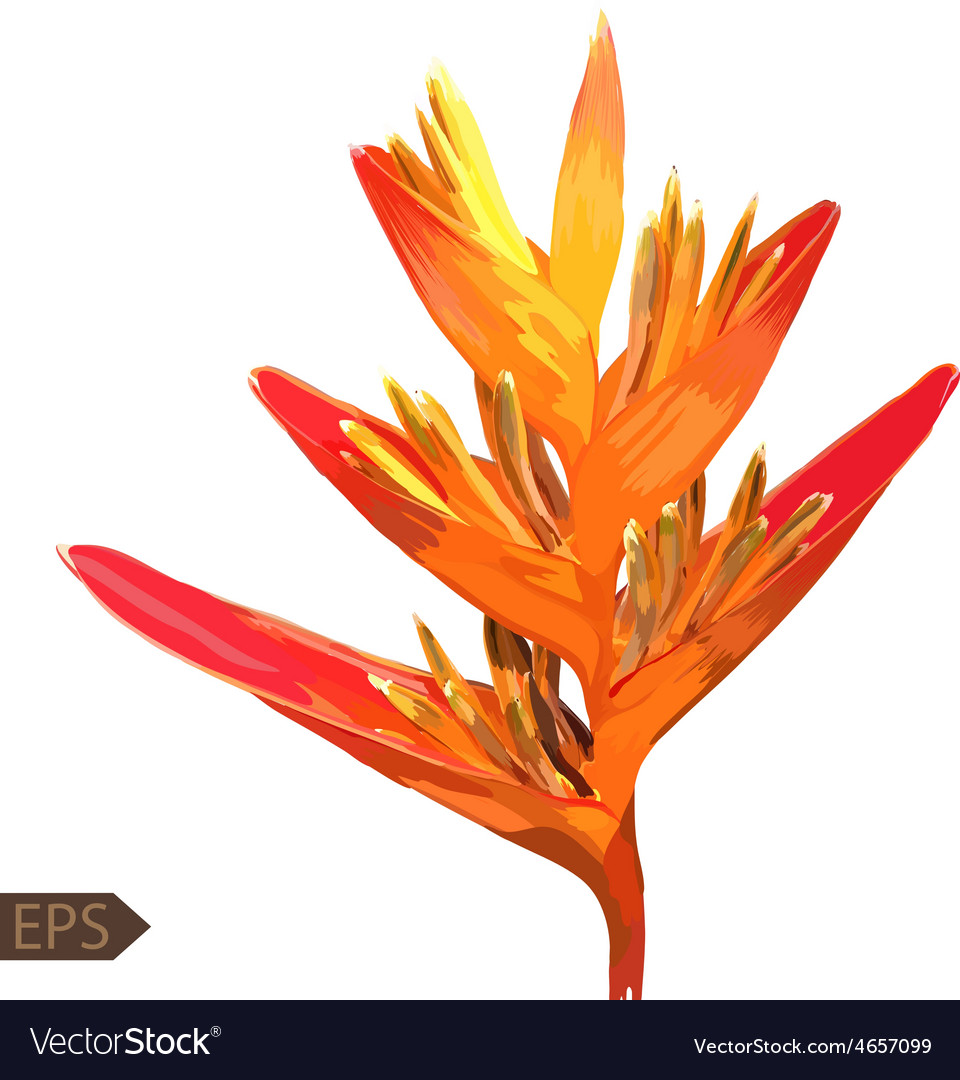 Heliconia colorful isolated flower on a white vector image
