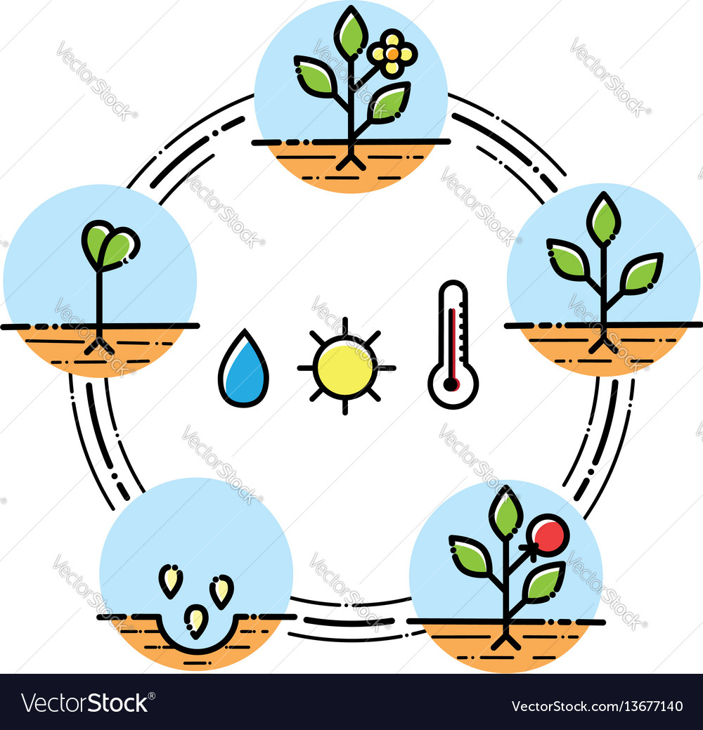Plant growth stages infographics planting fruits vector image
