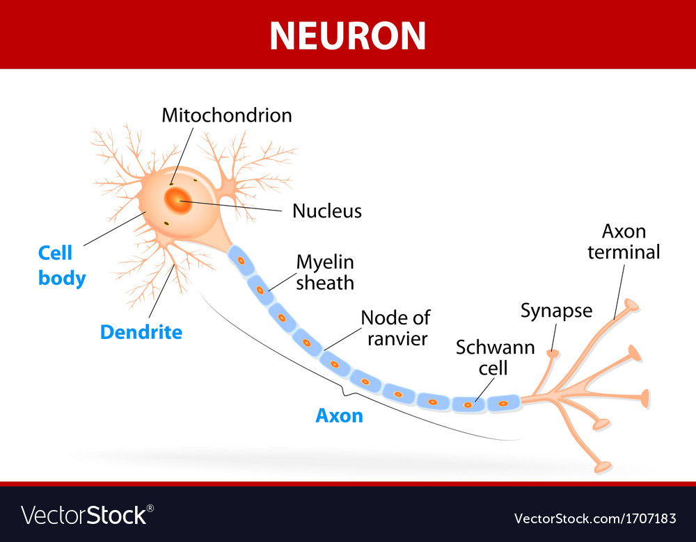 Structure of a typical neuron vector image