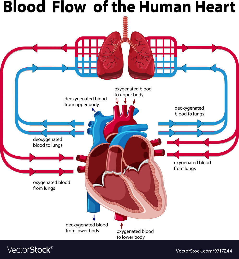Chart showing blood flow of human heart royalty free vector chart showing blood flow of human heart vector image nvjuhfo Choice Image