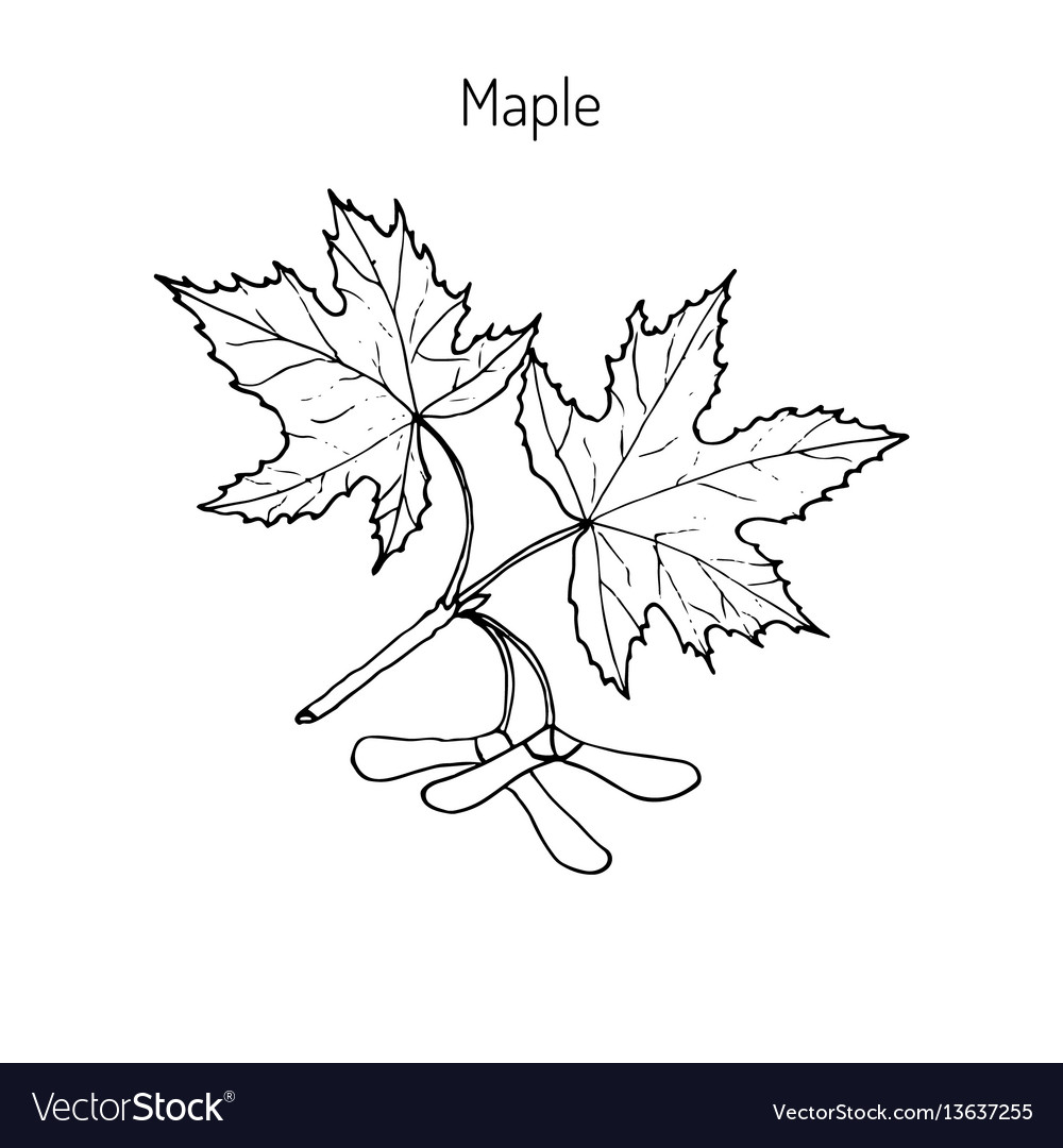 Maple branch with leaves and seeds vector image
