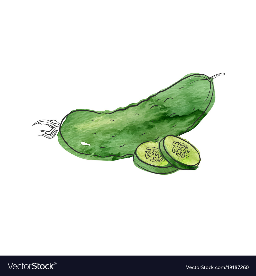 Drawing cucumber Royalty Free Vector Image - VectorStock for Drawing Cucumber  110ylc