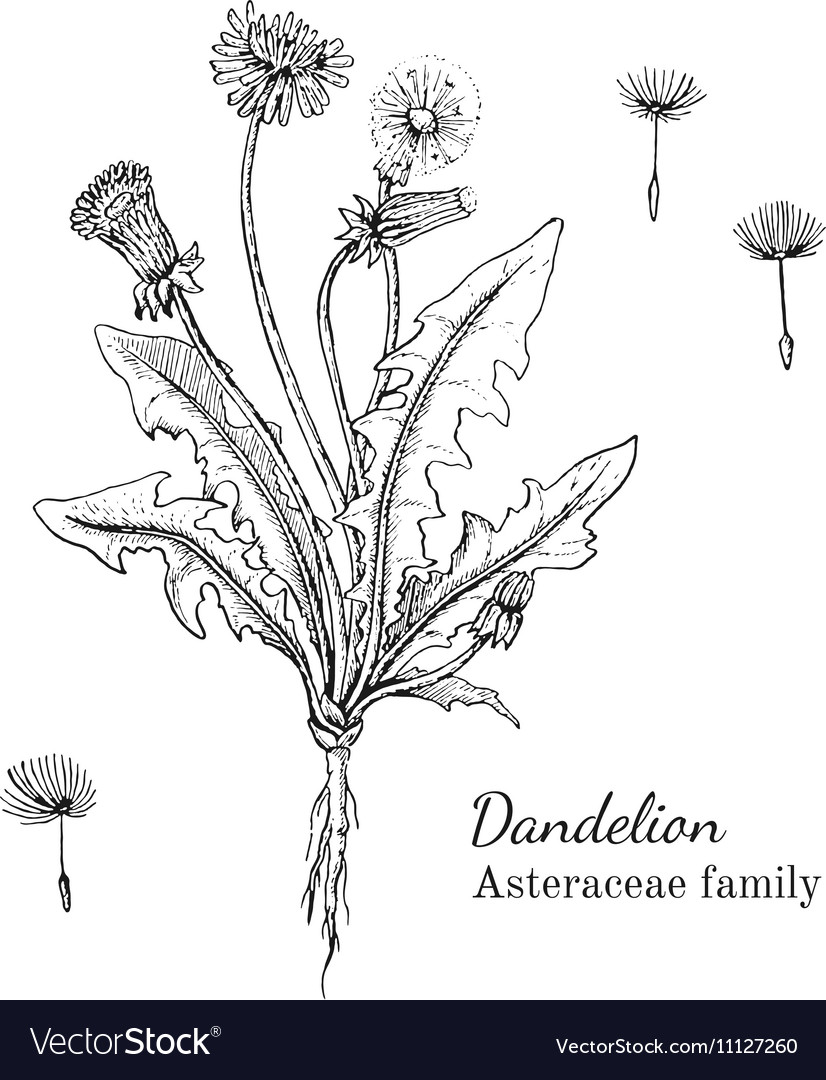 Ink dandelion hand drawn sketch vector image