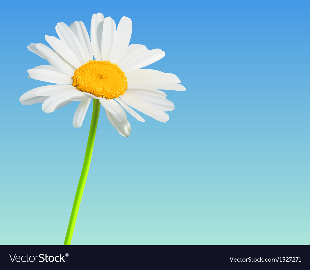 Flower nature background Chamomile bloom vector image