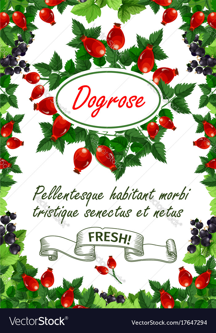 Poster of fresh dogrose berries and fruits vector image