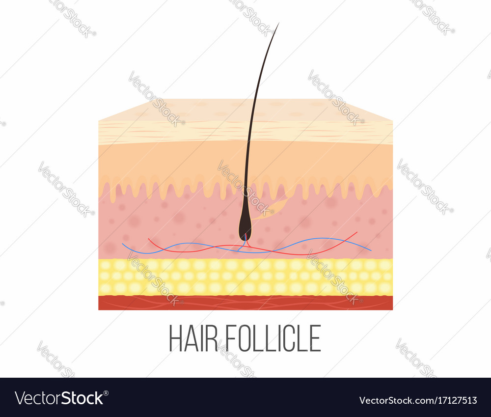 Hair follicle human skin layers with hair vector image pooptronica Image collections