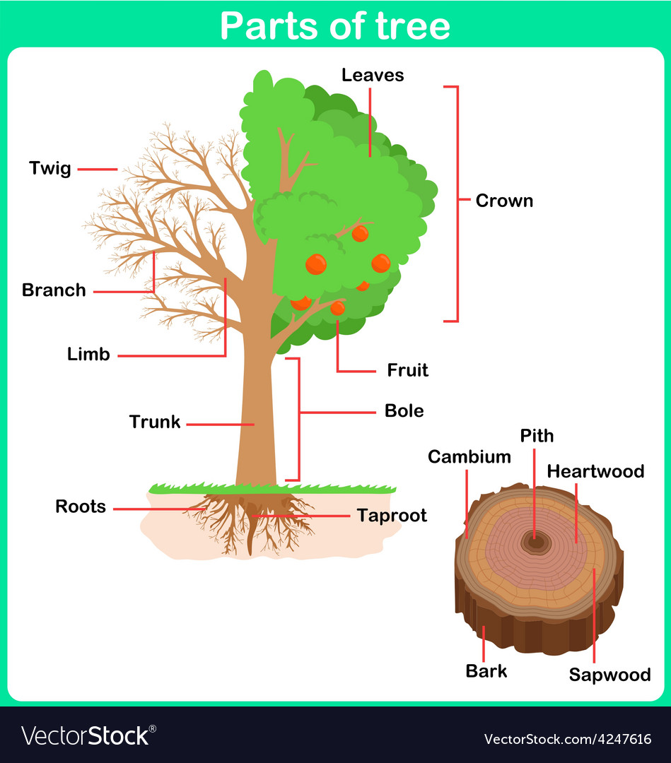 The Parts of a Tree Worksheet / Activity Sheet - national tree