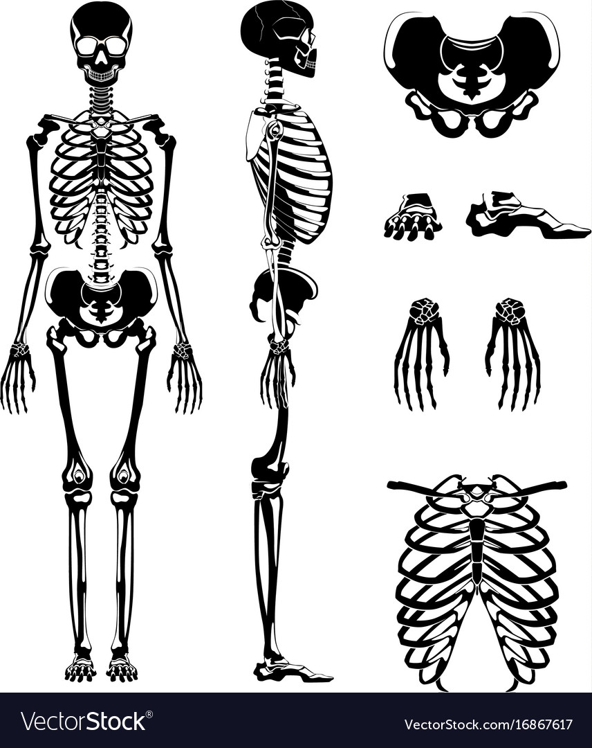 Silhouette of human skeleton anatomy vector image