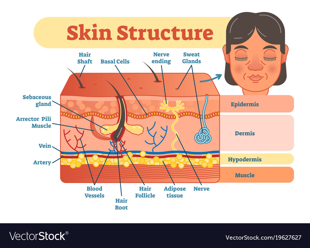 Skin structure diagram royalty free vector image skin structure diagram vector image pooptronica
