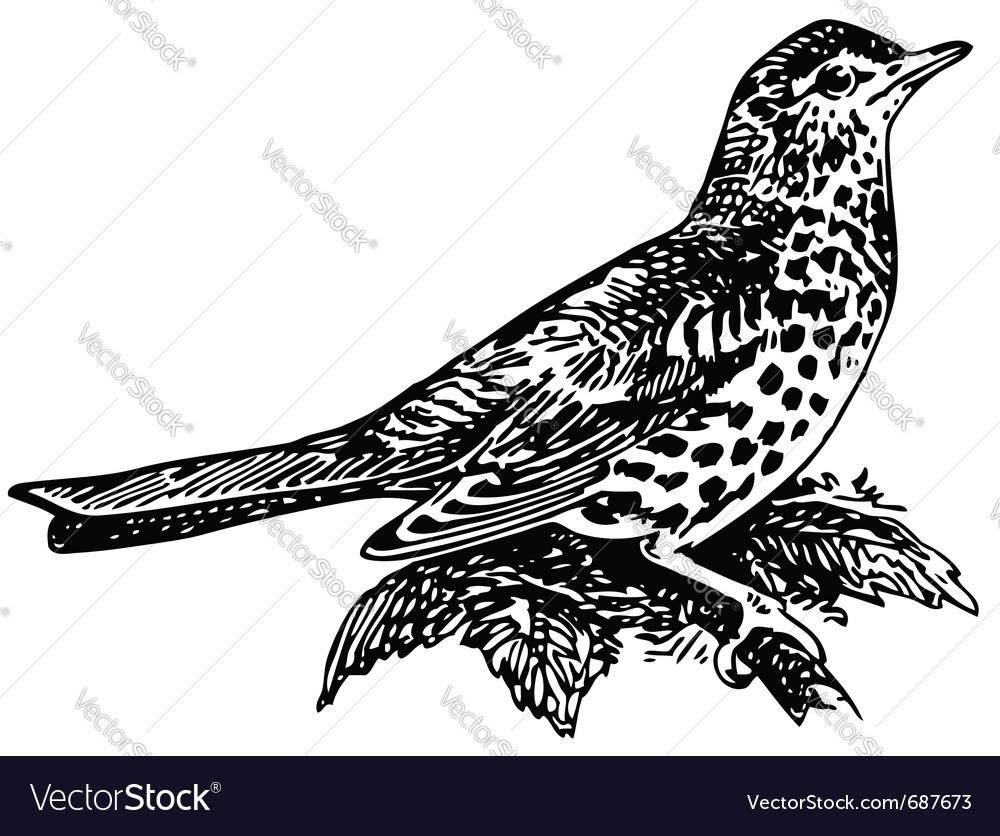 Bird mistle thrush vector image
