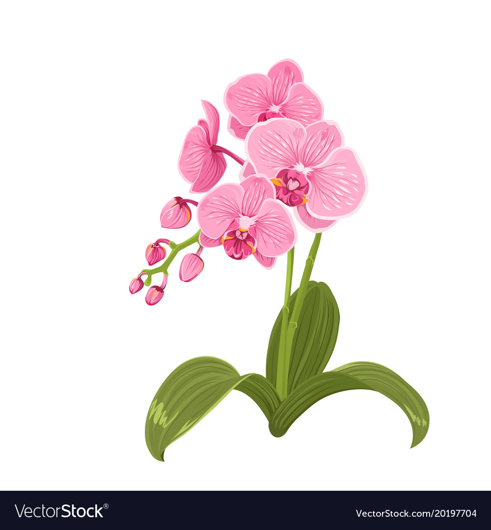 Pink orchid phalaenopsis flower realistic drawing vector image mightylinksfo Images
