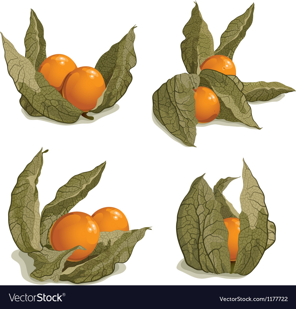 Set of ripe physalis vector image